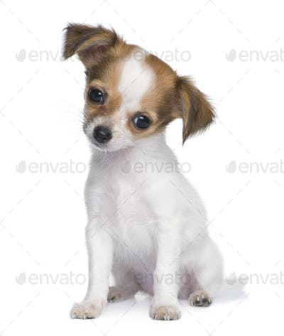 chihuahua puppy (3 months)