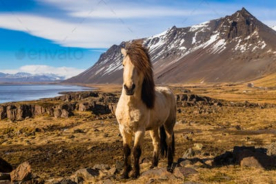 Icelandic horses. The Icelandic horse is a breed of horse developed in Iceland