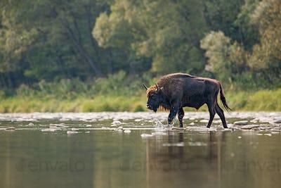 Bull of european bison, bison bonasus, crossing a river