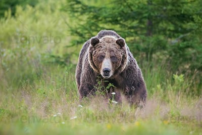 Massive aggressive male brown bear. ursus arctos. on summer meadow