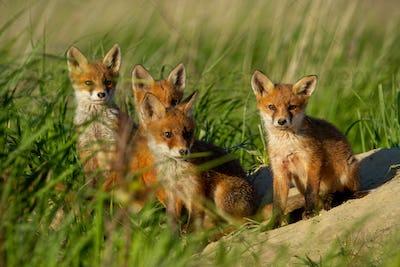 Red fox, vulpes vulpes, family near animal den