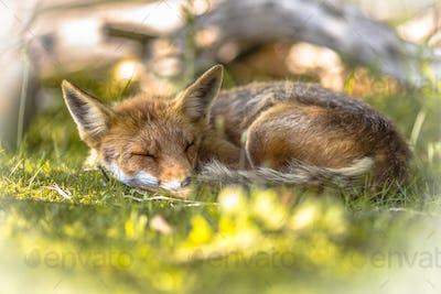 Red Fox sleeping in shade