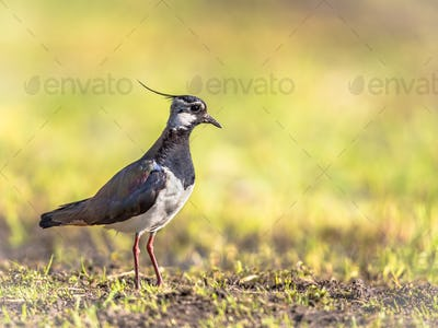 Northern Lapwing standing in meadow