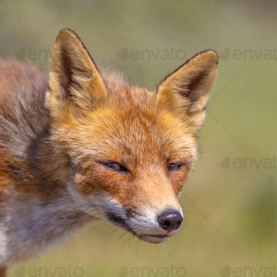 Red Fox cute portrait