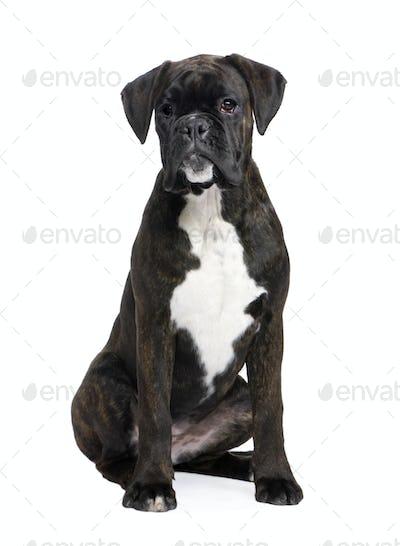 Boxer (5 months)