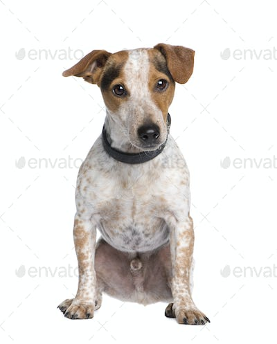 Mixed-Breed Dog between a jack russell and a Dachshund (3 years)