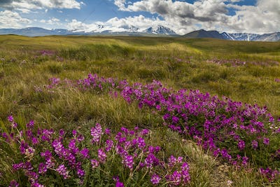 Field with wild flowers and mountains on the background.