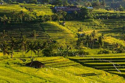 Rice terraces at sunrise. Bali