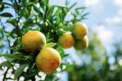 Orange on tree at sky