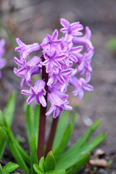 Pink Hyacinthus in a garden. Garden hyacinth with white blooming