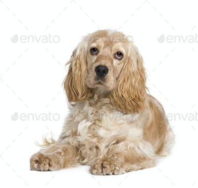 Cocker Spaniel (1 year)