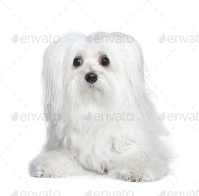 maltese dog (8 years)