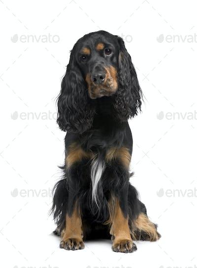 Cocker Spaniel (2 years)