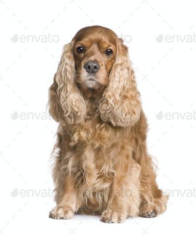 Cocker Spaniel (6 years)