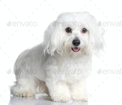 maltese dog (1 year)