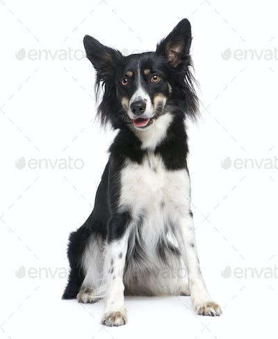 Border Collie (18 months)