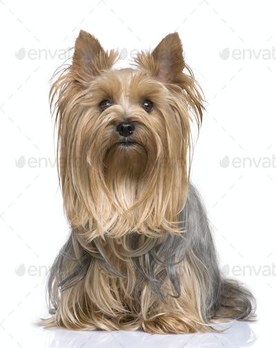 Yorkshire Terrier (5 years)