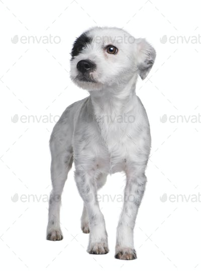 Mixed-Breed Dog between a jack russell and a maltese dog (18 mon