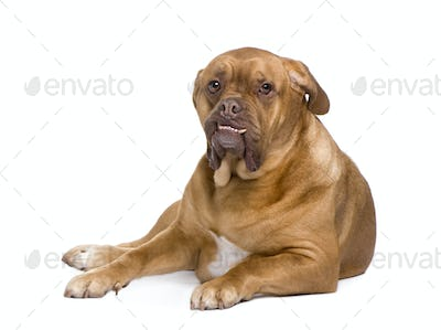 Dogue de Bordeaux (3 years)
