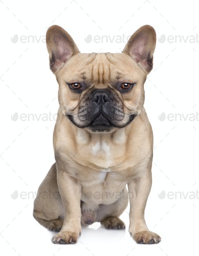 French Bulldog (1 year) (Digital enhancement)