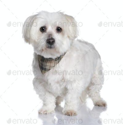maltese dog (13 years)