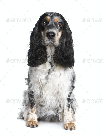 Cocker Spaniel (5 years)