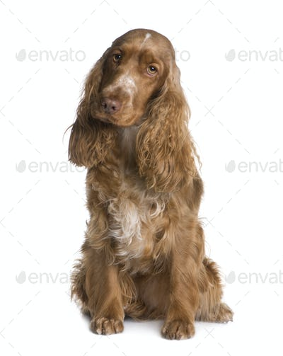 Cocker Spaniel (1.5 years)