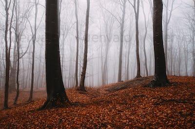 Orange leaves in misty forest