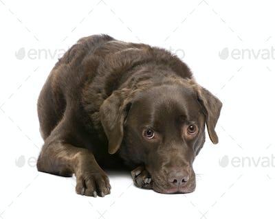 Labrador (7 years)