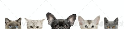 Cropped view of dog head and cat heads in front of white background, studio shot