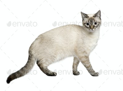 Crossbreed between a siamese and a tabby (9 months) in front of a white background