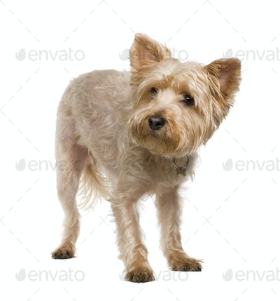 Yorkshire Terrier (3 years)