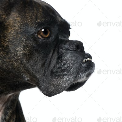 close-up on a Boxer's head (9 years)