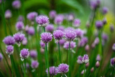 Beautiful purple blossoms of chives blooming