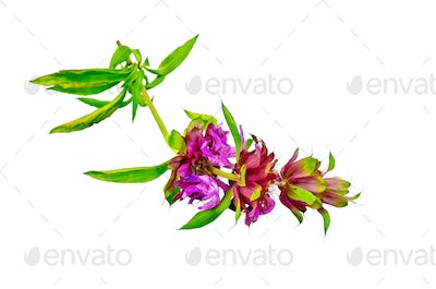 Bergamot with pink flowers