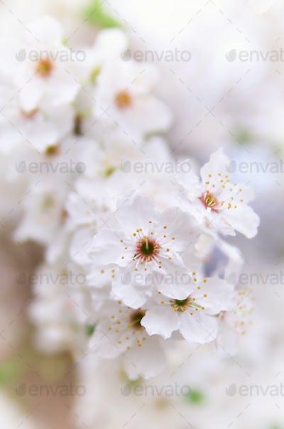 Flower of spring white tree