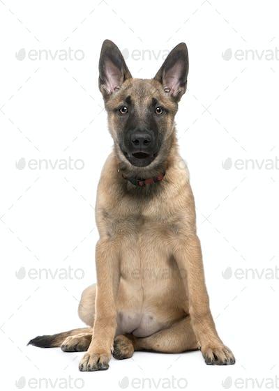 """Belgian Shepherd Dog """"Malinois"""" (4 months)"""