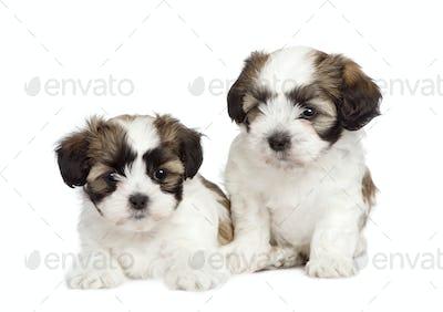 puppy mixed-Breed Dog between Shih Tzu and maltese dog (7 weeks)