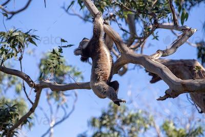 Grey Australian Koala