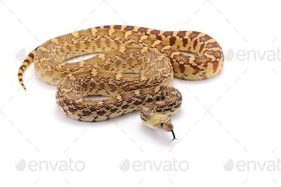Gopher Snake isolated on white background