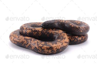 snake Ground Python isolated on white background
