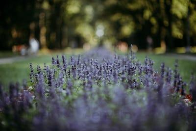 Lavender in park