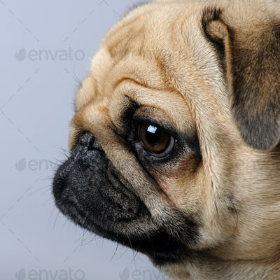 close-up on a profile of a pug (3 years)