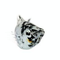 Dalmatian Molly - Poecilia latipinna