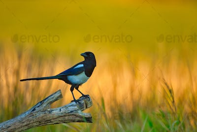 Magpie (Pica pica) on the meadow