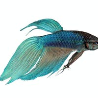 blue Siamese fighting fish - Betta Splendens
