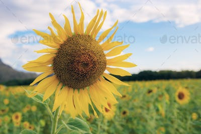 Sunflower on field with beautiful
