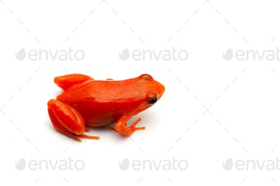 The golden frog mantella isolated on white background