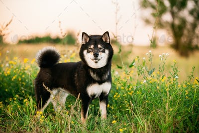 Funny Black And Tan Shiba Inu Dog Outdoor In Grass.