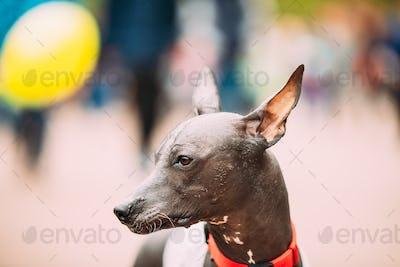 Mexican Hairless Dog Close Up Portrait. Xoloitzcuintli Or Xolo F